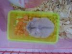 Hamster Argente