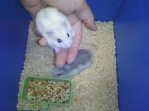 hamster pearl